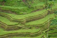 Free Terrace Rice Field Royalty Free Stock Images - 19627329