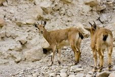 Free Two Wild Goats In Ein Gedi Royalty Free Stock Photos - 19627398