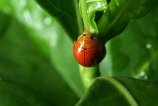 Free Lady Bug On Green Leaf Royalty Free Stock Images - 19627849