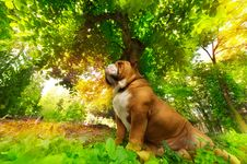 Free English Bulldog Stock Photo - 19628080