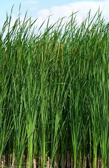 Sedge At Lake Stock Photo