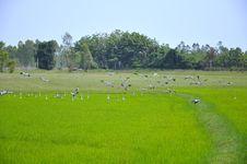 Egrets Feeding In Paddy Field Royalty Free Stock Photo