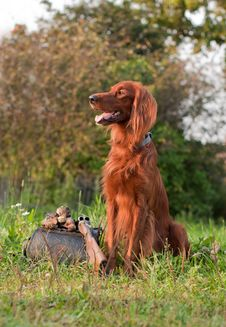 Setter With Trophy Stock Photography