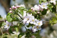 Free Flowers Apple-tree Stock Photos - 19628573