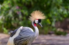 Free Crowned Crane Royalty Free Stock Images - 19628619