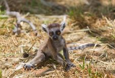 Free Lemur Baby Stock Photo - 19628870