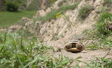 Free Greek Tortoise Royalty Free Stock Images - 19629979