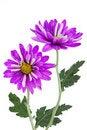 Free Violet Daisy Royalty Free Stock Image - 19632056
