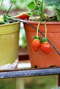 Free Strawberry In The Strawberry Farm Royalty Free Stock Photo - 19633975