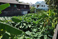 Free Field Taro Plant Town Home Royalty Free Stock Image - 19634886
