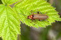Free Soldier Beetles Stock Images - 19635344