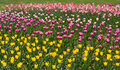 Free Yellow, Pink And Purple Tulips Stock Photography - 19639352