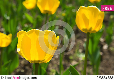 Free Tulips Yellow Royalty Free Stock Image - 19634586