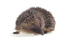 Free Young Hedgehog Royalty Free Stock Images - 19630429