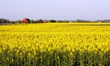 Free Canola Farm Royalty Free Stock Photos - 19631828