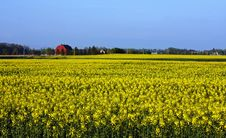 Free Canola Farm Stock Photography - 19631842