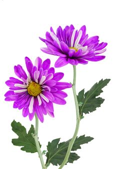 Free Violet Daisy Royalty Free Stock Image - 19632056