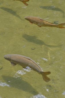 Free Carp And Shadows Royalty Free Stock Image - 19632456
