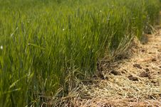 Free Green Wheat Stock Photography - 19632542