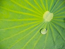 Free Green Lotus Leaf With Water Drop Royalty Free Stock Photo - 19634065