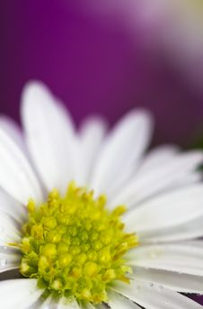 Free Daisies Series VI Stock Photo - 19634430