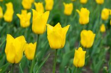 Free Tulips Yellow Royalty Free Stock Photo - 19634595