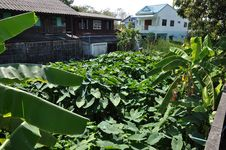 Field Taro Plant Town Home Royalty Free Stock Image