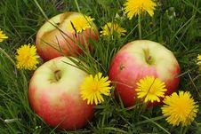 Free Apples On A Glade With Dandelions Royalty Free Stock Photos - 19635308
