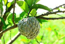 Custard Apple Agriculture, Apple Stock Images