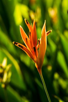 Free Yellow Backlit Heliconia Stock Photo - 19635910