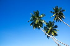 Three Palm Trees Royalty Free Stock Photography