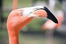 Free Flamingo Head Stock Photo - 19639070