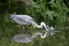 Free Grey Heron With A Fish In The Beak Royalty Free Stock Images - 19639289