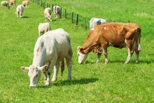 Free Cows Stock Images - 19639434
