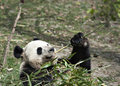 Free Giant Panda Royalty Free Stock Image - 19642356