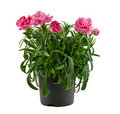 Free Pink Carnation Royalty Free Stock Photos - 19642908