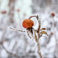 Free Dogrose In Hoarfrost Royalty Free Stock Photography - 19643527