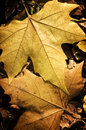 Free Close Up Of A Yellow Autumn Leaves Royalty Free Stock Images - 19645689
