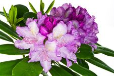Free Pink Rhododendron Royalty Free Stock Photo - 19641875