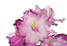 Pink Rhododendron Stock Photo