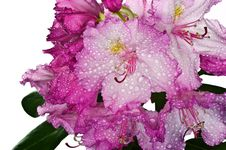 Free Pink Rhododendron Stock Photography - 19641952