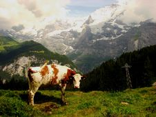 Free Cow And Snow Capped Mountains In Switzerland Stock Photo - 19642220
