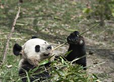 Free Giant Panda Royalty Free Stock Image - 19642356