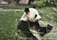 Free Giant Panda Stock Images - 19642484