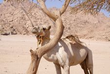 Free A Cammel At Namibia Desert Royalty Free Stock Images - 19643589