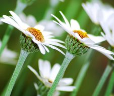 Free Daisy Royalty Free Stock Photography - 19643697