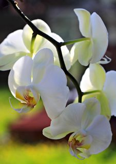 Free Branch Of An Orchid. Stock Photo - 19643870