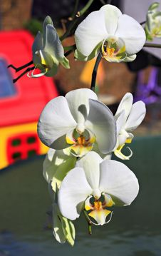 Free Branch Of An Orchid. Royalty Free Stock Image - 19643906