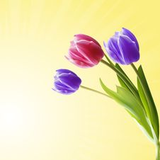 Free Detailed Tulips Royalty Free Stock Photo - 19644425