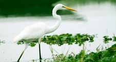 Great Egret Walking In Water Of An Asian Sanctuary Stock Photo